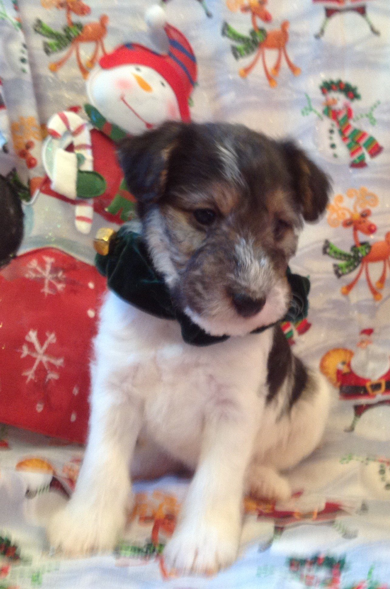 Wire Fox Terriers Available - Homestead Kennel | Happy, Healthy ...